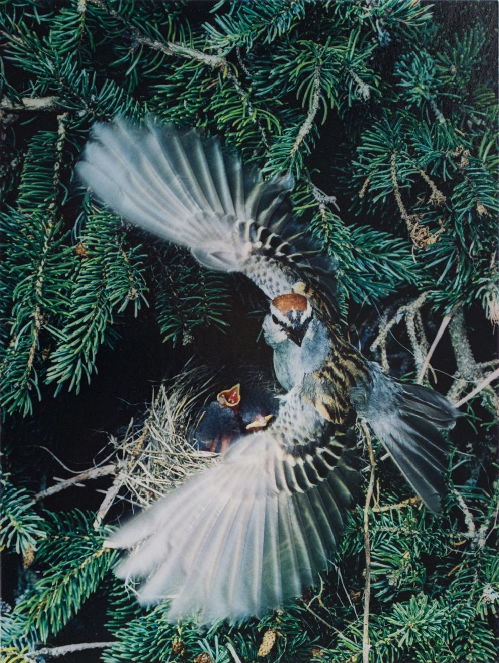 Eliot Porter Chipping Sparrow, Great Spruce Head Island, Maine Dye transfer print from Birds in Flight portfolio, 1979