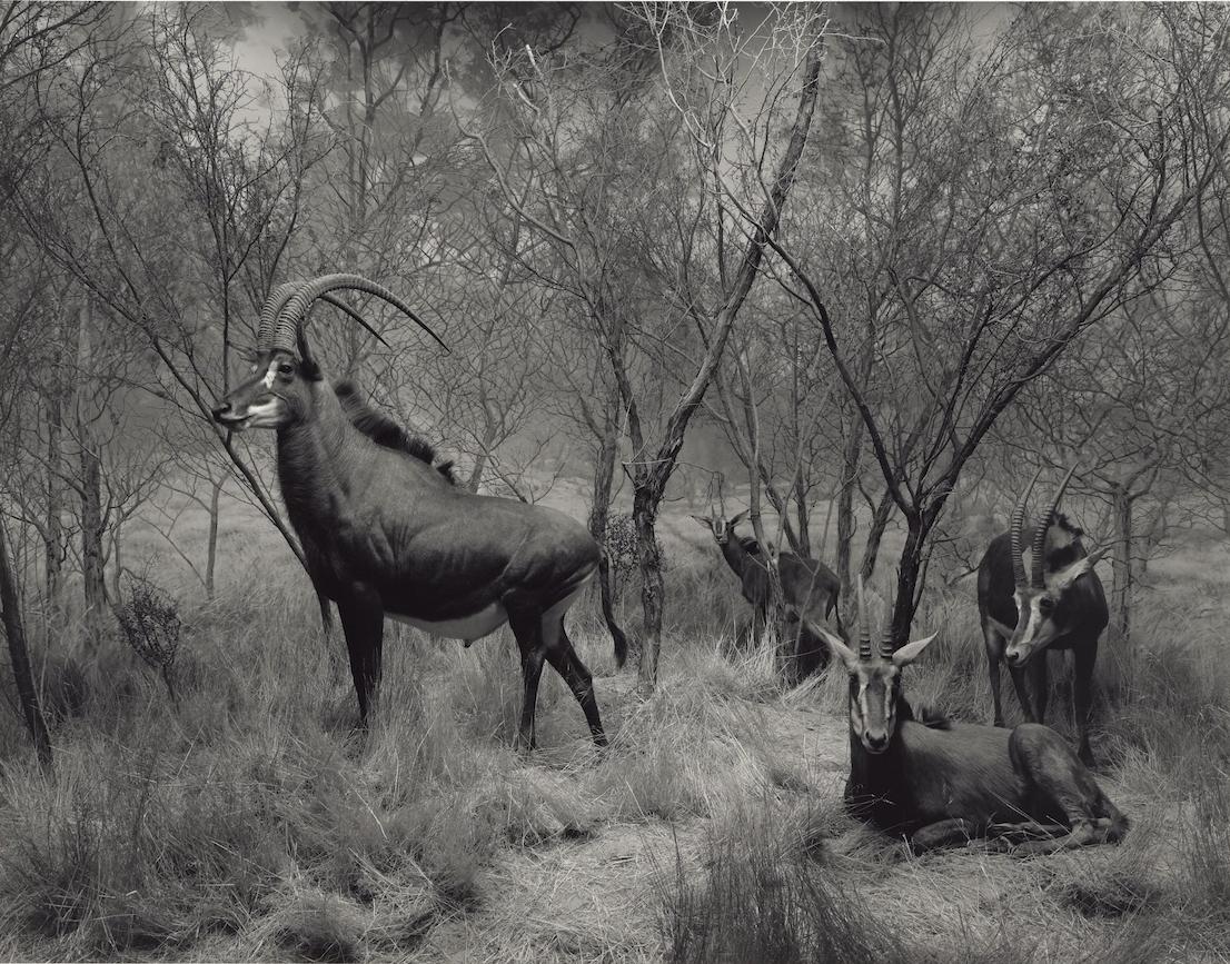 Hiroshi Sugimoto, Sable Antelope, 1994