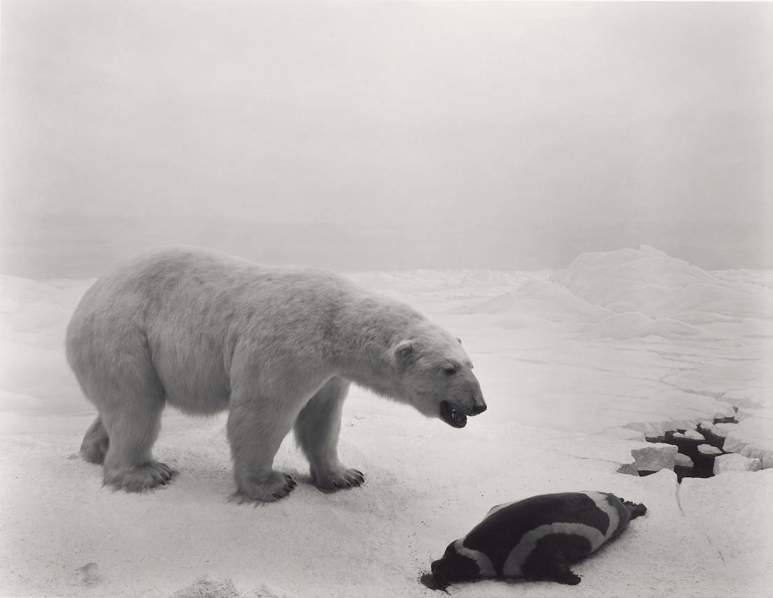 Hiroshi Sugimoto, Polar Bear, 1976.