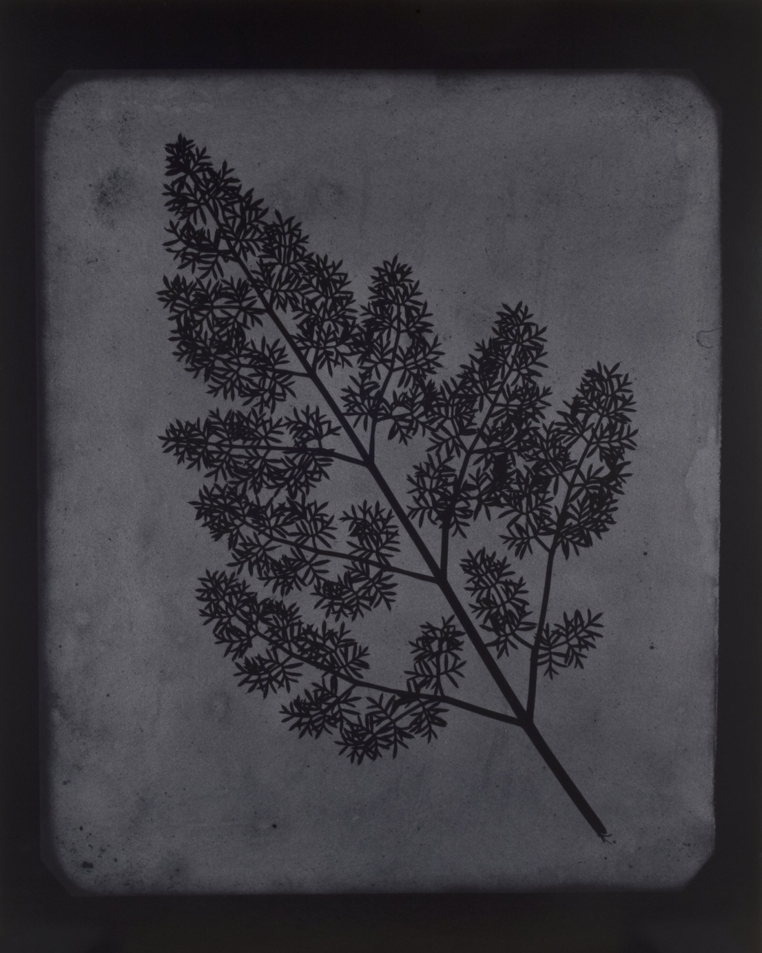 Hiroshi Sugimoto, A Stem of Delicate Leaves of an Umbrellifer, circa 1843–1846, 2009