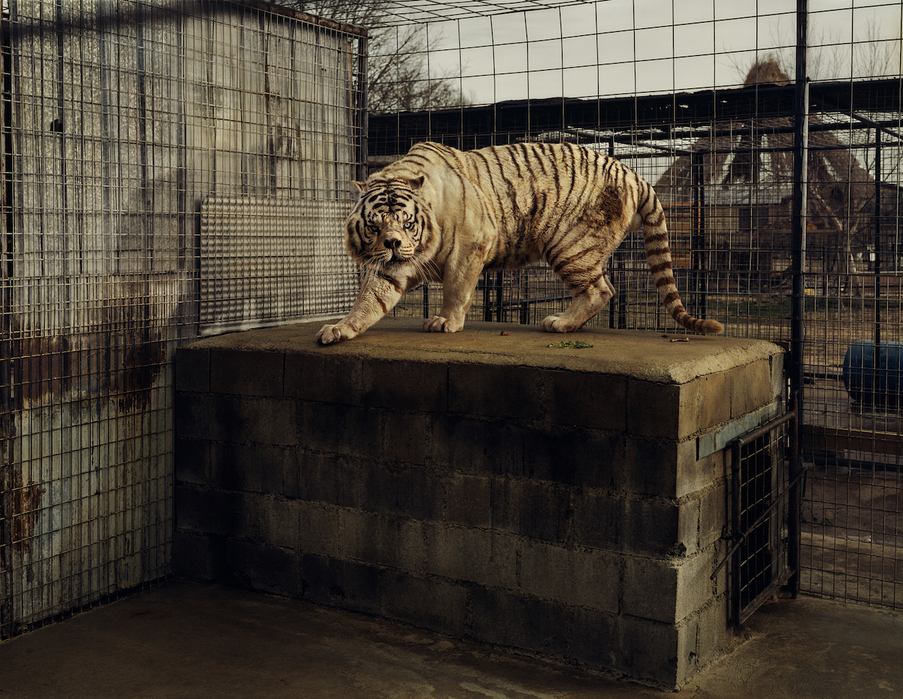 Taryn Simon, An American Index of the Hidden and Unfamiliar, 2007. Courtesy: Taryn Simon. White Tiger (Kenny), Selective Inbreeding Turpentine Creek Wildlife Refuge and Foundation Eureka Springs, Arkansas.