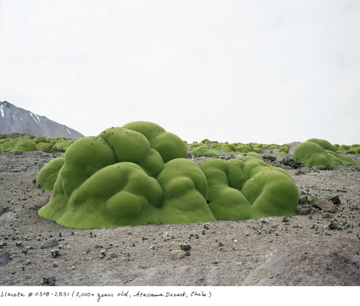 Rachel Sussman, Llareta #0308-2B31 (2000+ years old; Atacama Desert, Chile), 2008. From Sussman's book The Oldest Living Things in the World (University of Chicago Press, 2014). Courtesy Rachel Sussman.